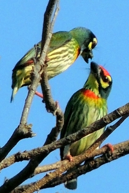 A loving pair : Coppersmith Barbet