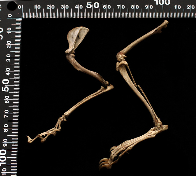 Sciurus vulgaris left forelimb and left hind limb