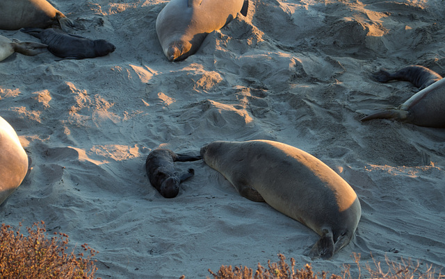 CA-1 Piedras Blancas Elephant Seals (1161)
