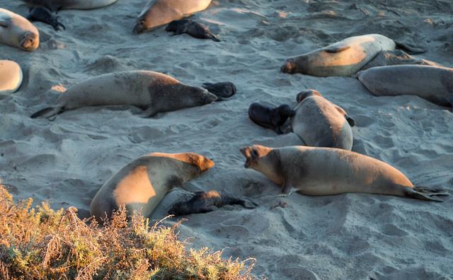 CA-1 Piedras Blancas Elephant Seals (1165)