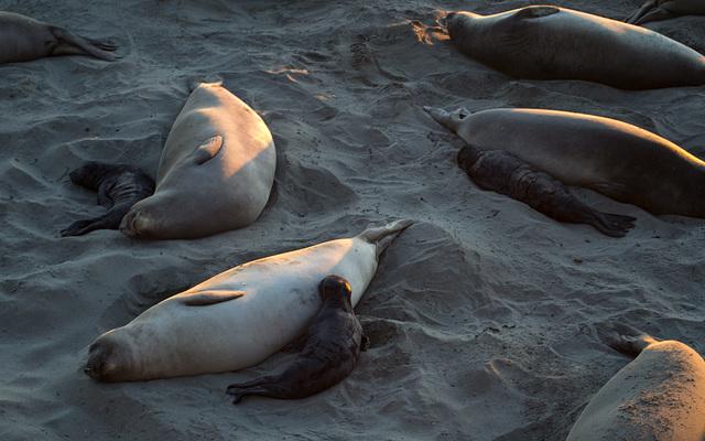 CA-1 Piedras Blancas Elephant Seals (1166)