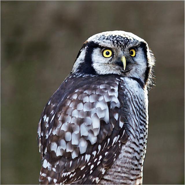 Der scharfe Blick - the penetrating glance - le regard pénétrant