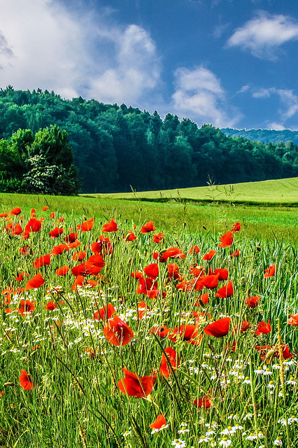 Sommerwiese - Meadow with poppies (180°)