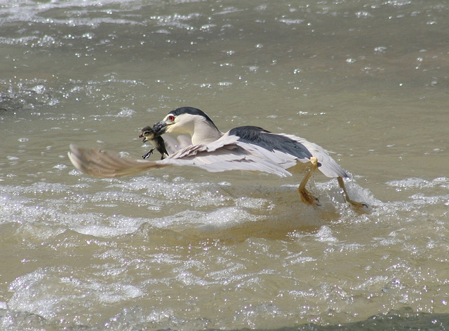 bihoreau gris et sa proie/black-crowned night heron and its prey