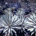 Silver-leaved Cycads