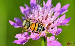 Ape al lavoro  --  Bee at work  (on explore)