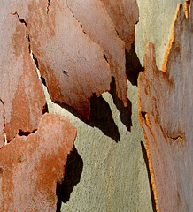 Floating continents of gum tree bark