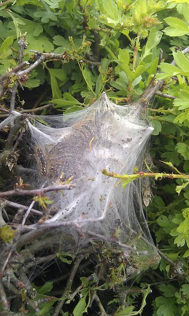 Brown tail moth caterpiller nest