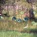 Egret amongst Lotus