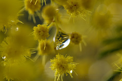 mimosa reflected in the drop!