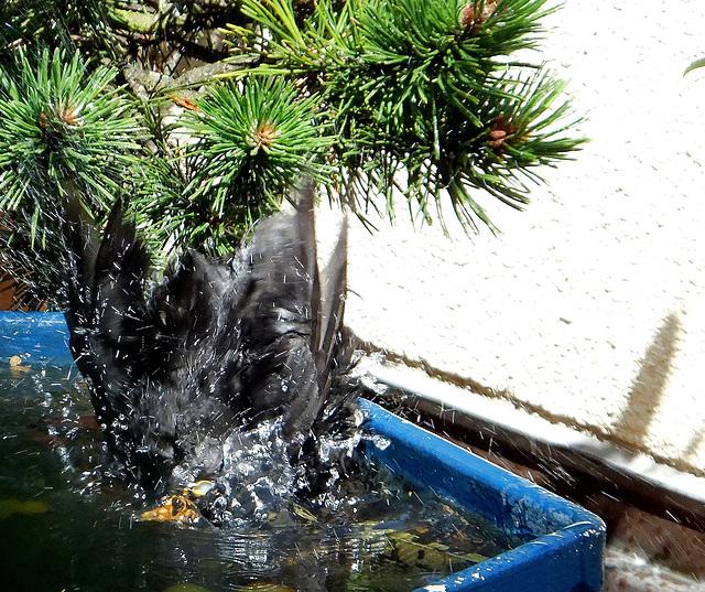 Blackbird diving... :-)) ©UdoSm