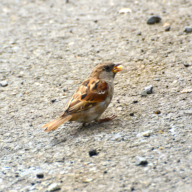 Saint-Malo 2014 – Sparrow