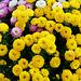 Dreifarbiger Chrysanthemen-Busch im Arbeitszimmer (4)