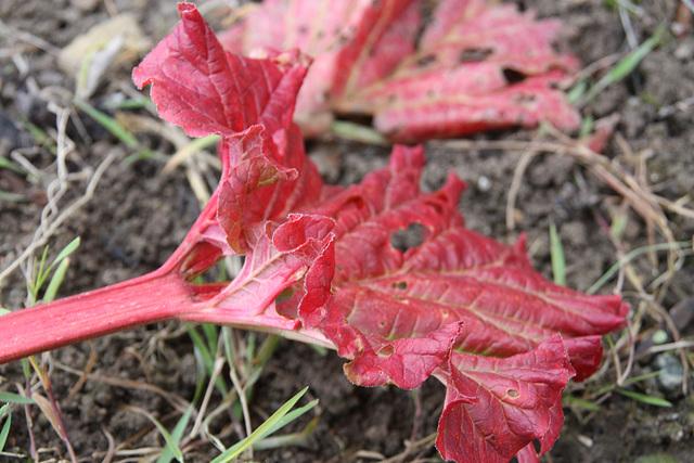 feuille de rhubarbe
