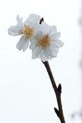Kirschblüte vom 2. Weihnachtsfeiertag