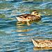 Ducks on Lake Taupo