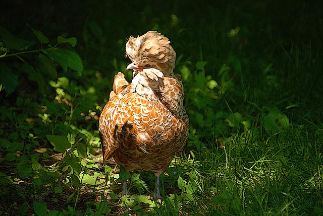Ma poule Padoue en pleine jungle à la recherche d'un lombric à se mettre sous la dent