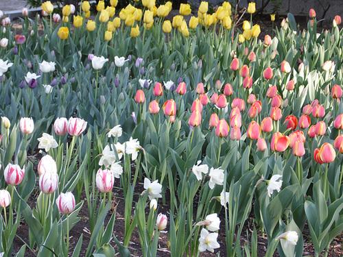 Yerevan Tulips