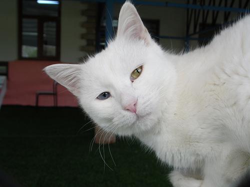 Another Turkish Van Cat