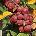 Malus spec. / Hybr. - 2014-10-12 - DSC5537-Copy