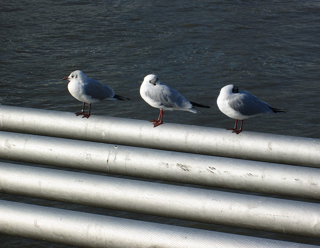Millennium footbridge gulls.