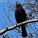 Blackbird Male  Explore 054 copy