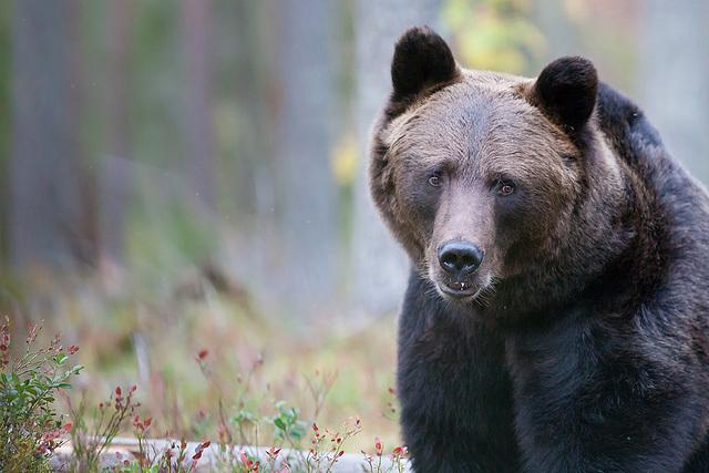 Le regard de l'ours