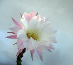 il fiore di un giorno