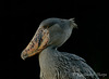 Shoebill Stork 111213