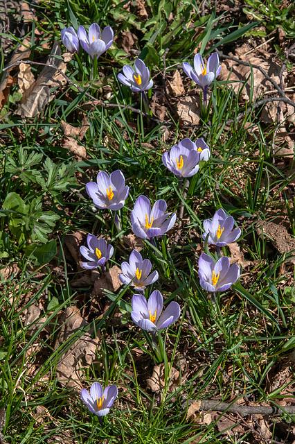 Krokusse - 2014-03-20-_DSC1135