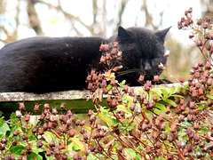 Blackie asleep on fence top