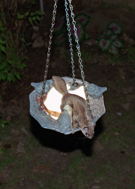 Thief in the Night - A Flying Squirrel