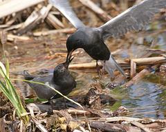 guifette noire/black tern