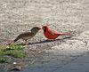 cardinal rouge/red cardinal