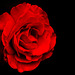 A Rose in Darkness