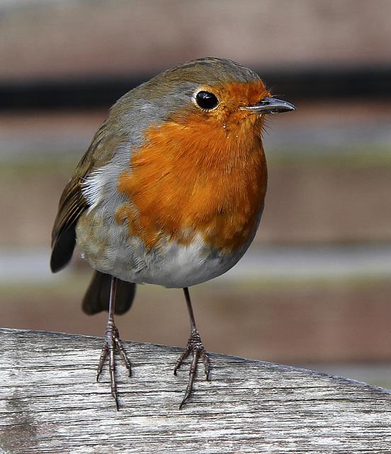 #30 The European robin (Erithacus rubecula)