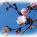 Sakura Tree in Bloom 1