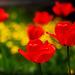 Tulips & Dandelions