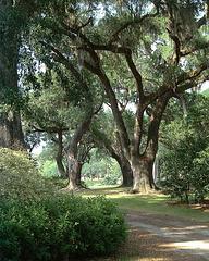 Live Oaks - Carolina 2000