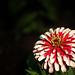 Red-white 1