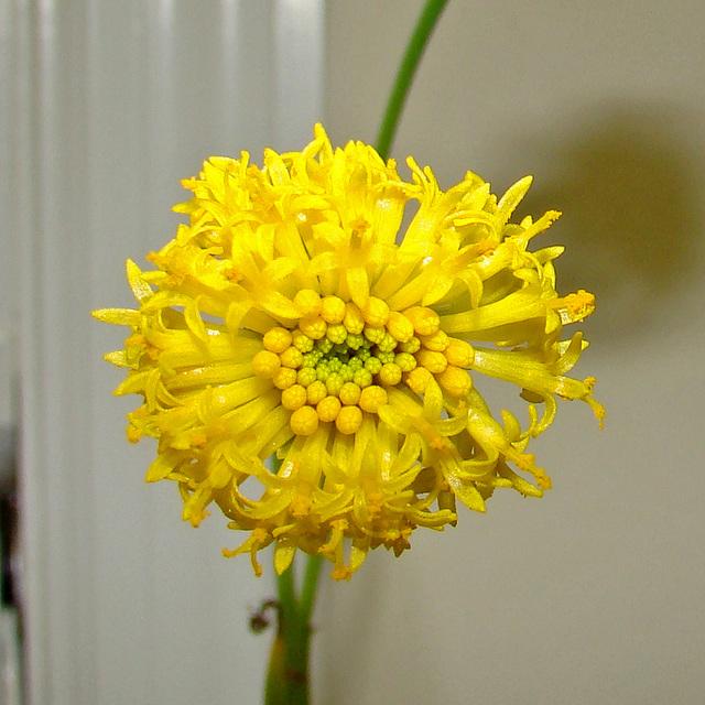 Senecio deflersii flower