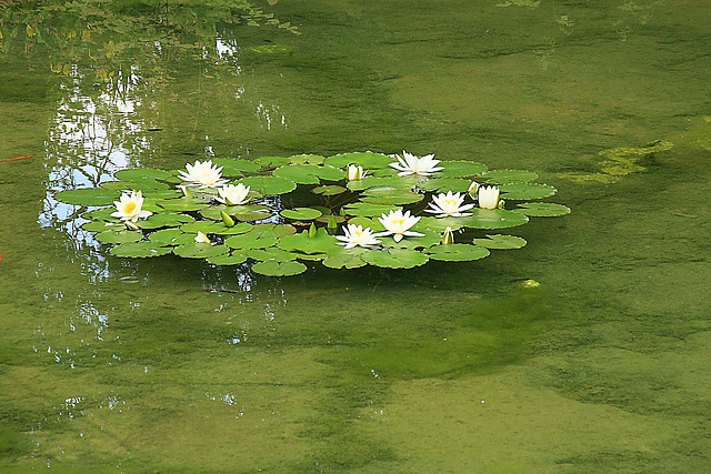 Water Lillies_1