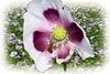 Poppy seed