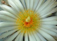 Astrophytum Myrisostigma Quadricostal