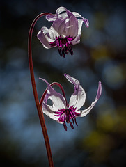 E is for Elegant Erythroniums (4 more images in notes!)