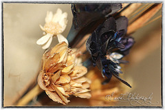 Old dried flowers