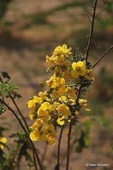 20100222-0606 Senna polyphylla (Jacq.) H.S.Irwin & Barneby
