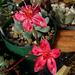 Graptopetalum bellum in flower