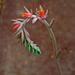 Dudleya species