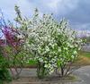 Fleurs blanches encore...